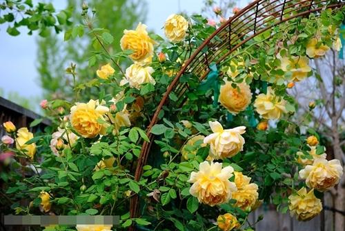 Kết quả hình ảnh cho hoa hồng vàng leo
