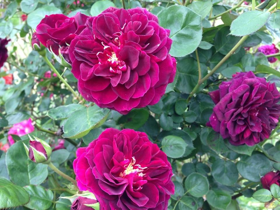 Giống hoa hồng leo được cung cấp bởi cửa hàng hạt giống cô Long luôn được đảm bảo về chất lượng và giá thành