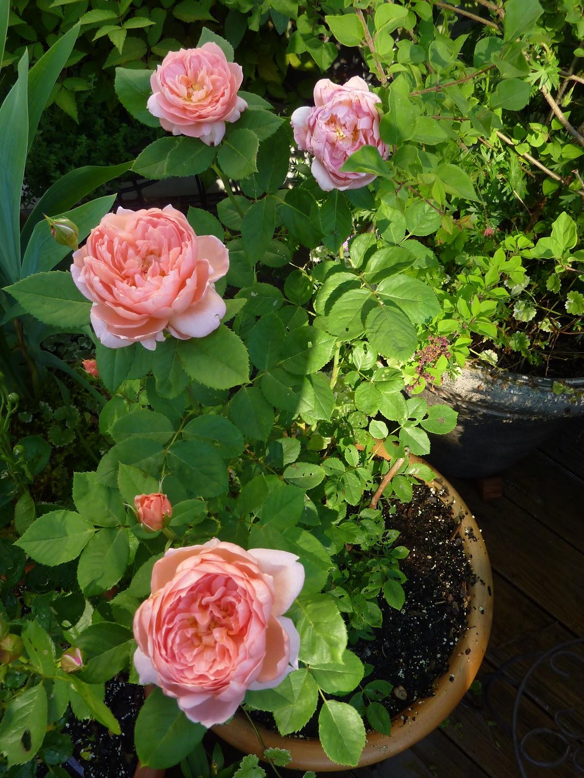 Kinh nghiệm trồng hoa hồng leo cho hoa to là trồng đúng kỹ thuật