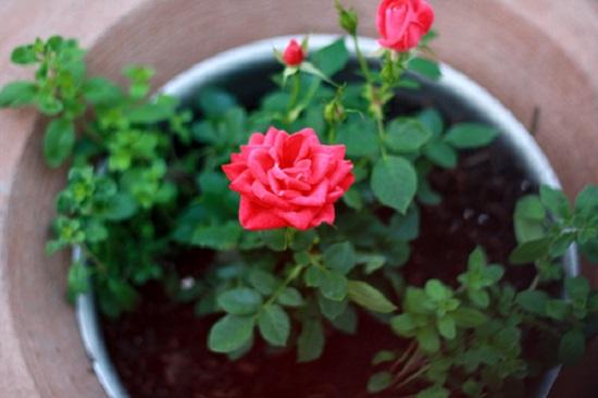 Kinh nghiệm trồng và chăm sóc là điều cần thiết đối với giống hoa ngoại nhập