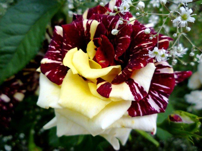 Hoa hồng leo anh gốc Thái 1