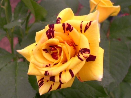 Hoa hồng leo anh gốc Thái 3