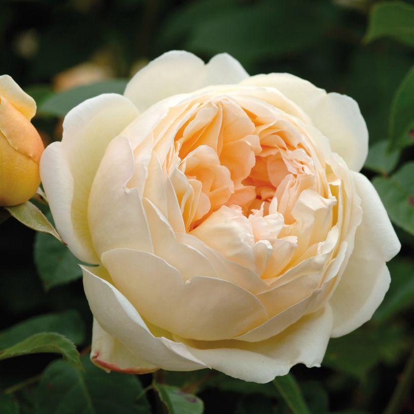 Hoa hồng leo Jude the Obscure có hương thơm mạnh mẽ