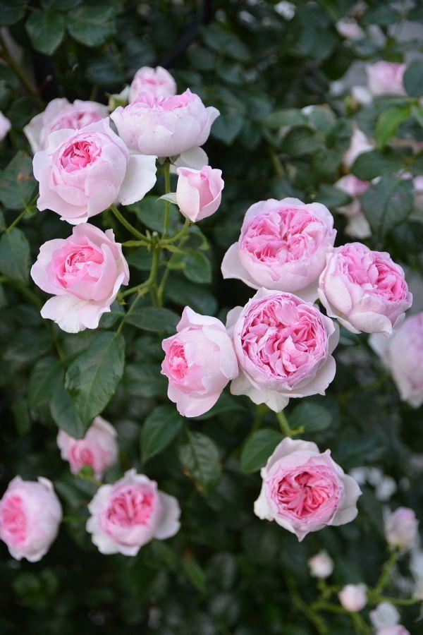 Hoa hồng leo Mon Coeur cao 2m, hoa 10.16cm, màu trắng tâm hồng