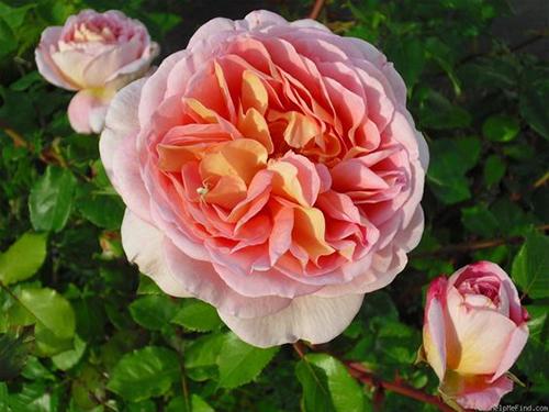 Kết quả hình ảnh cho Hoa hồng ngoại Abraham