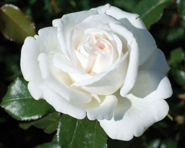 Kết quả hình ảnh cho hoa hồng màu trắng