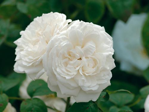 Kết quả hình ảnh cho Hoa hồng Winchester Cathedral