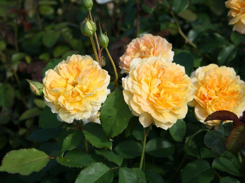 Kết quả hình ảnh cho Hoa hồng leo Tropical Clementine